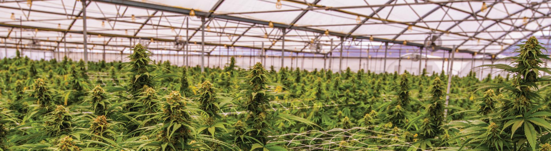 Cannabis Plant Field